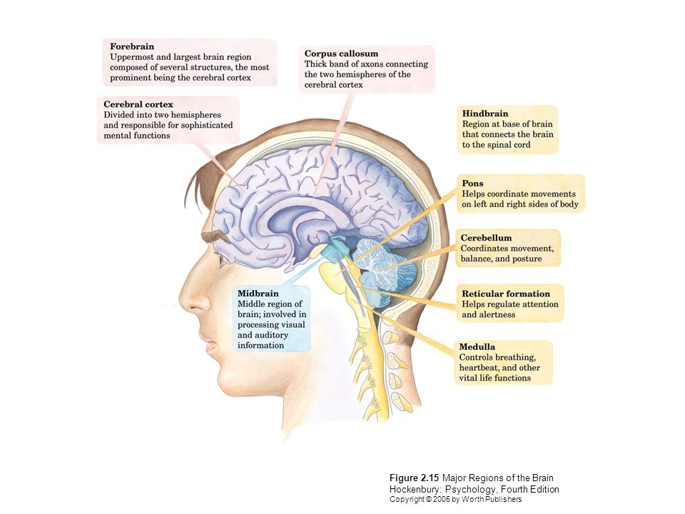 Psychology Chapter 2: Neuroscience and Behavior Fourth Edition - ppt ...