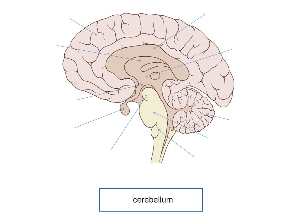 The Brain. - ppt video online download