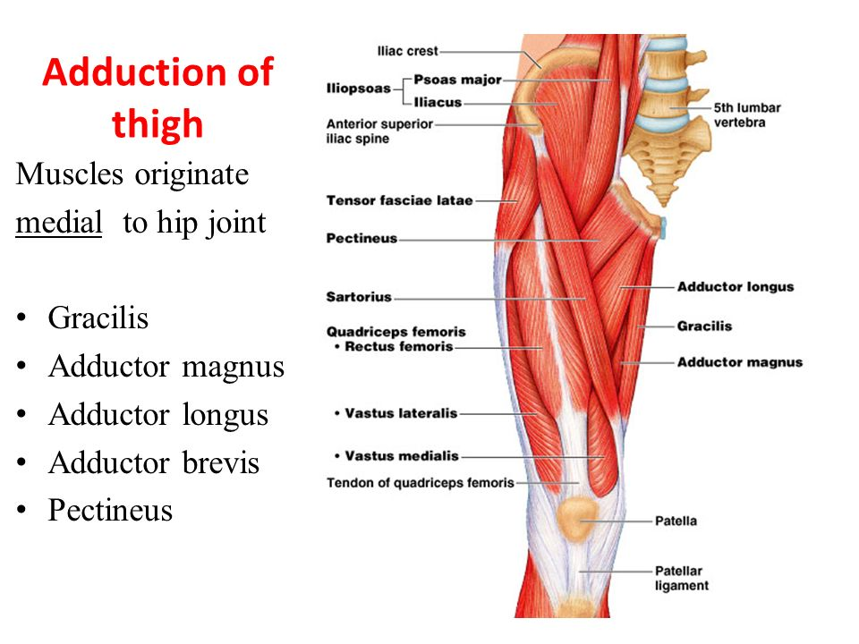 Muscles Of The Lower Extremities Ppt Video Online Download