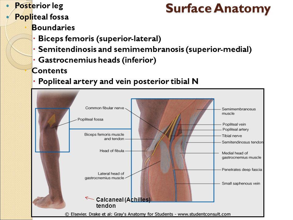 Surface Anatomy Of Knee Images - human body anatomy