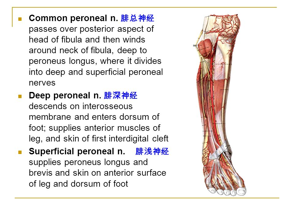 The lower limb(1) 山东大学医学院 解剖教研室 李振华. - ppt video ...