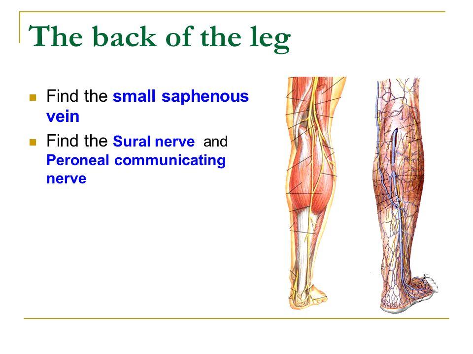 The Lower Limb1 Ppt Video