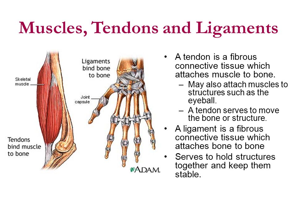 Muscle Tendon Ligament Composition And Function Ppt Video