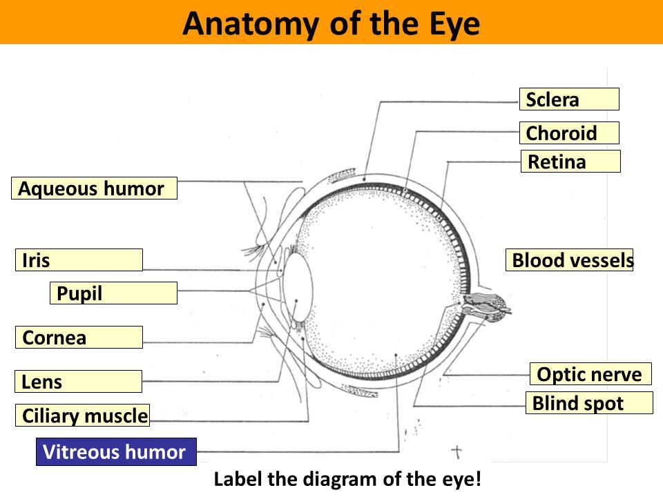The eye ppt video online download anatomy of the eye sclera choroid retina aqueous humor iris ccuart Gallery
