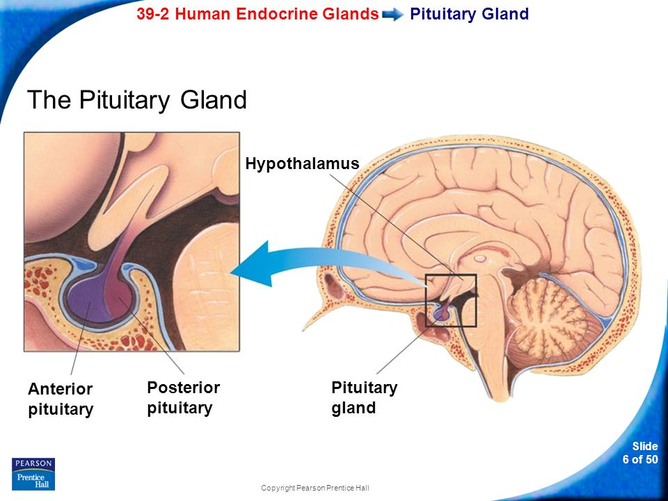 39 2 Human Endocrine Glands Ppt Video Online Download