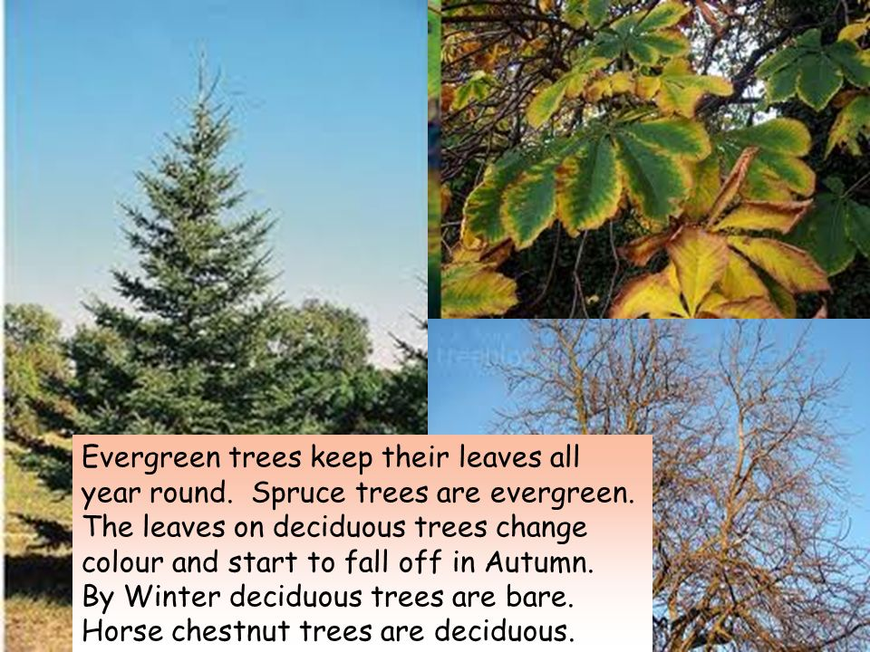 Evergreen Trees Keep Their Leaves All Year Round