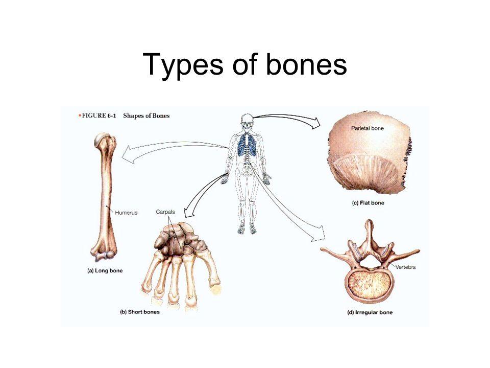Bone Fun Facts 203206 Bones In Body How You Count Tail Bone Ppt