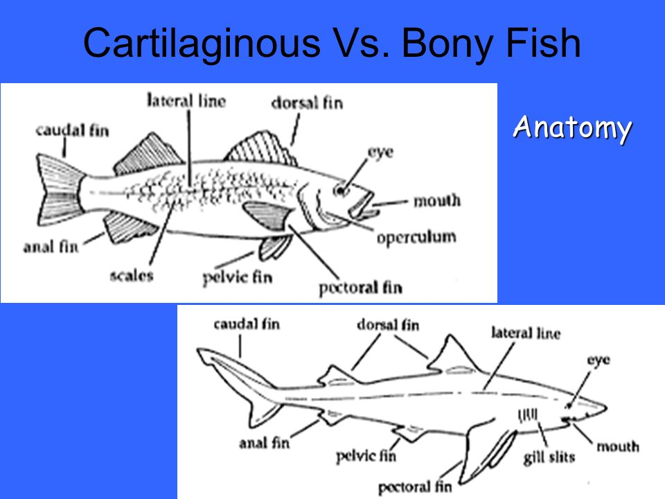 95 Of All Fish On Earth Are Bony Fish Ppt Video Online Download