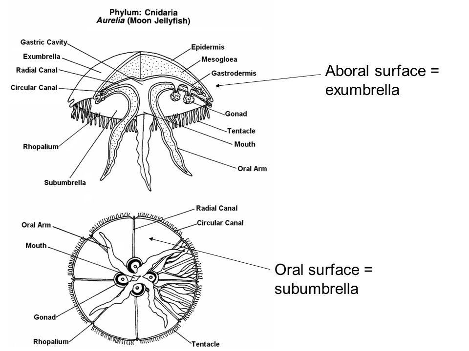 subphylum ppt video online download Jellyfish Anatomy Diagram aboral surface exumbrella
