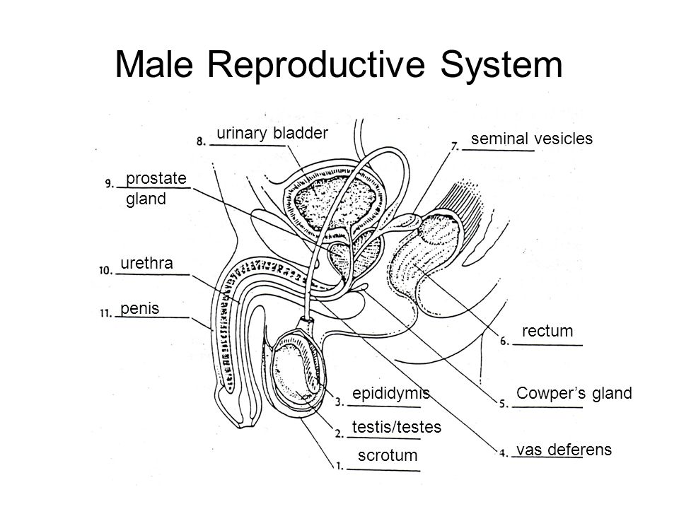 Human Reproductive System - ppt video online download