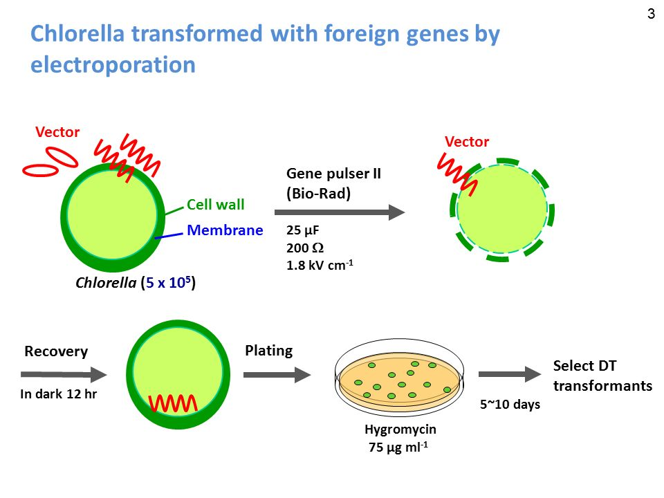 chlorella transformed with foreign genes by electroporation