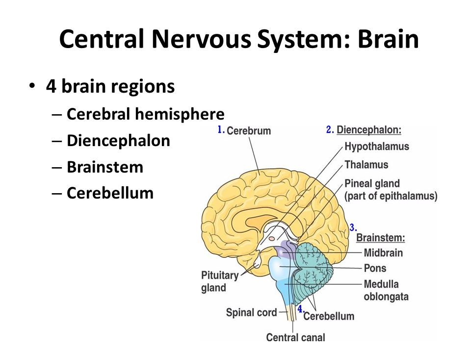 Brain Parts And Functions Ppt Video Online Download