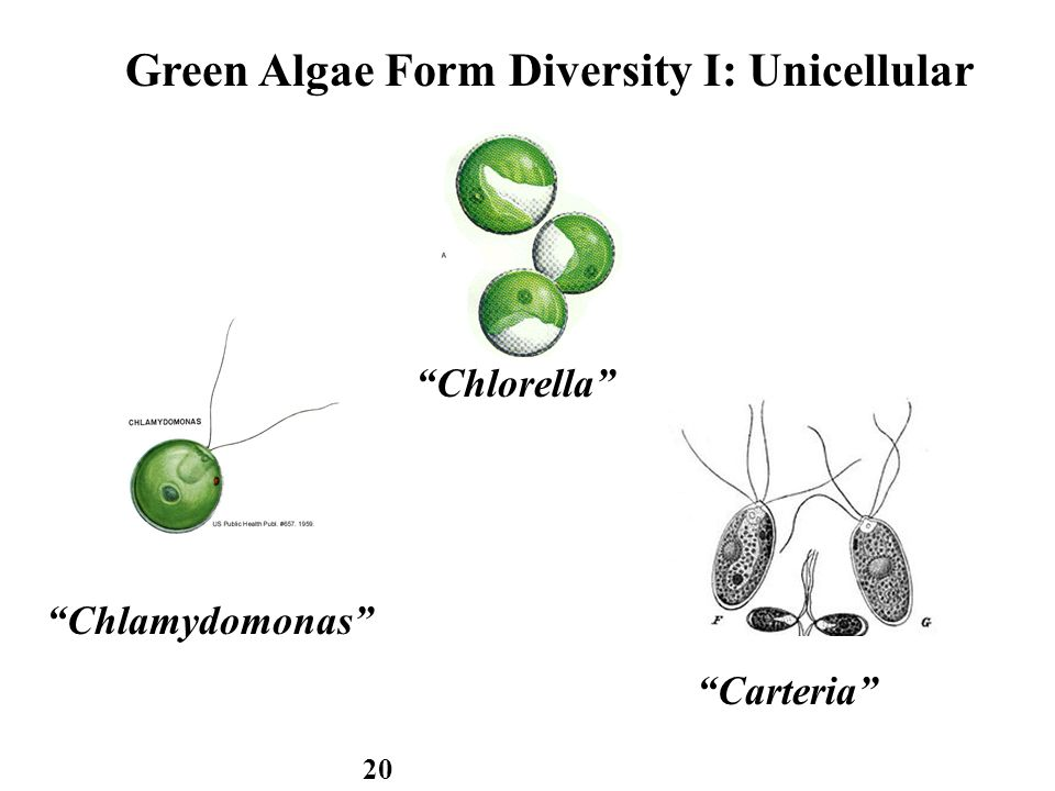 green algae form diversity i: unicellular