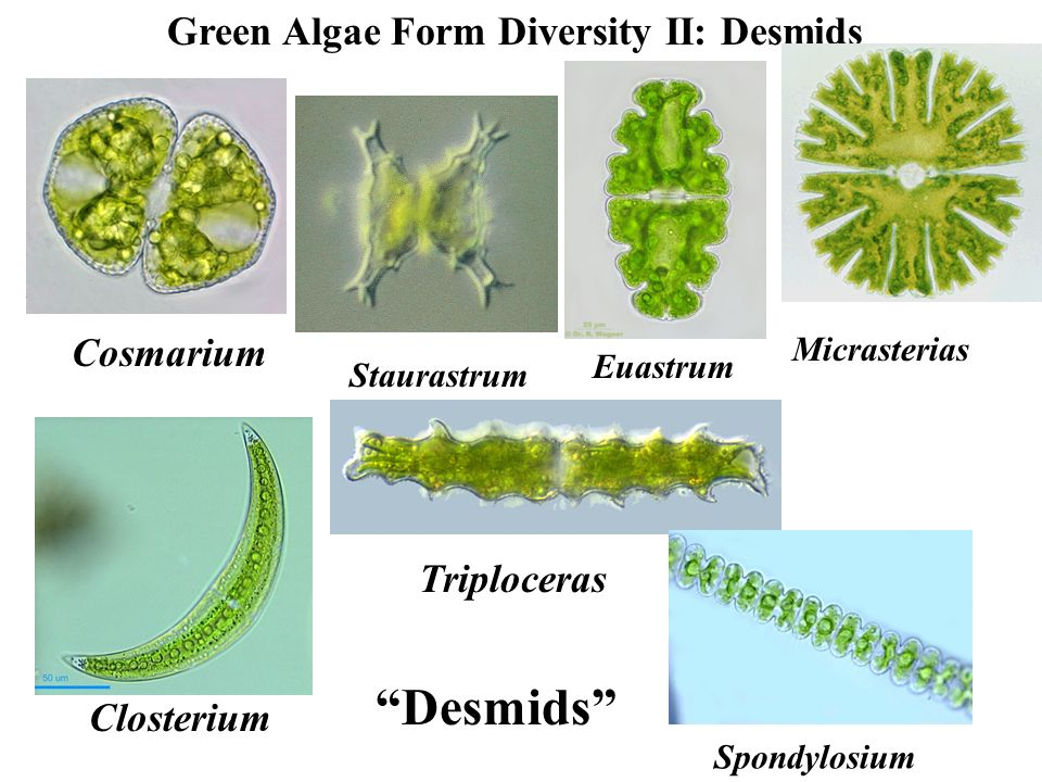 Green Algae (Chlorophytes) - ppt video online download Chlamydomonas Slide Labeled