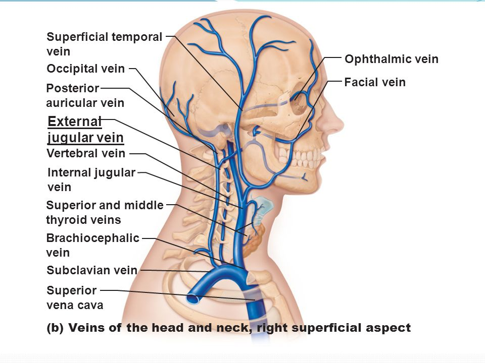 Blood And Nerve Supply Of The Neck Ppt Download