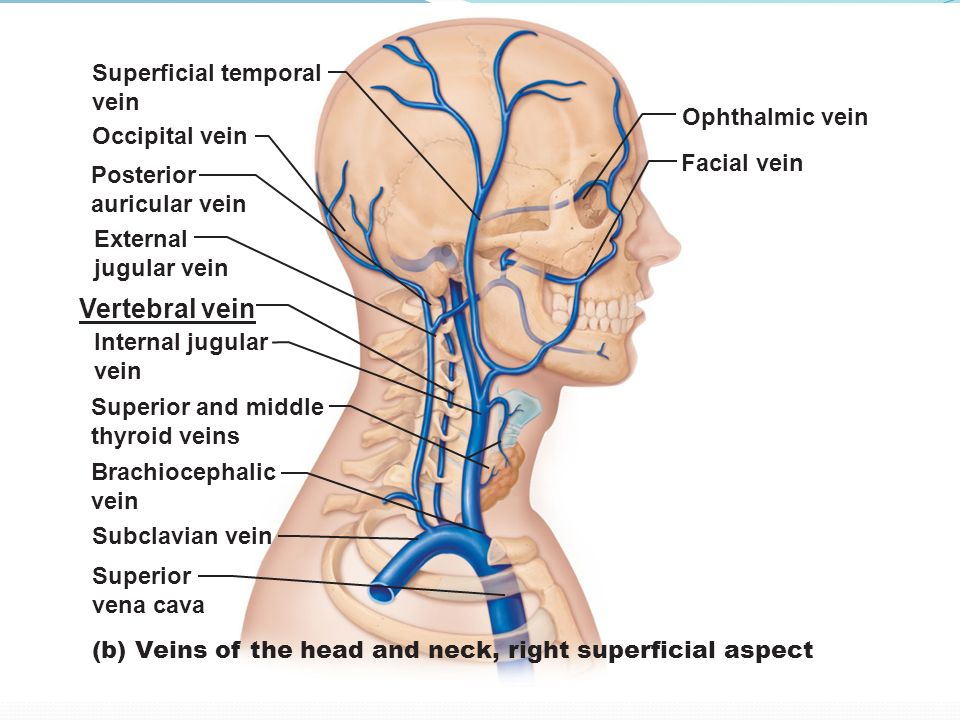 Blood and Nerve Supply of the Neck - ppt download