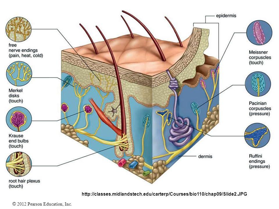 Fancy Midlands Tech Anatomy And Physiology Embellishment - Anatomy ...