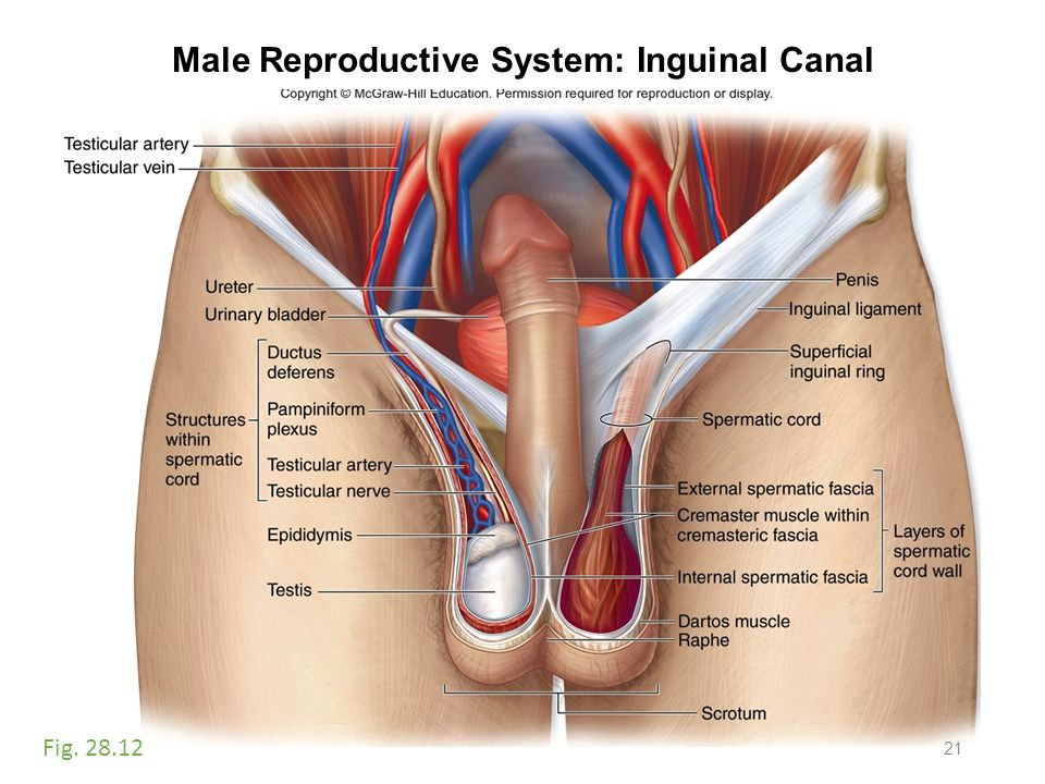 Inguinal Canal Male Reproductive System Diagram - Radio Wiring Diagram •
