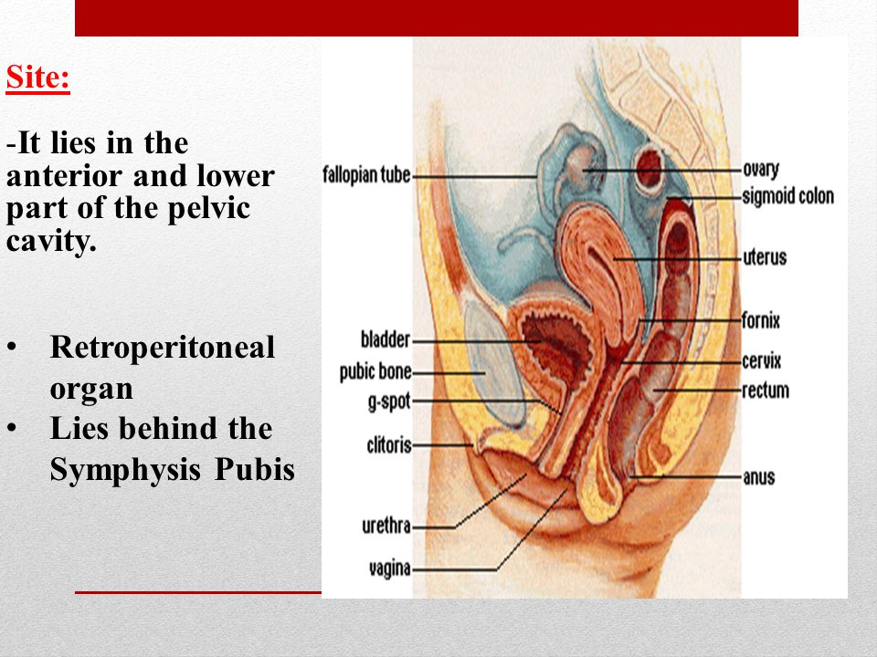 Urinary System 2 Urinary Bladder And Urethra Ppt Video Online Download