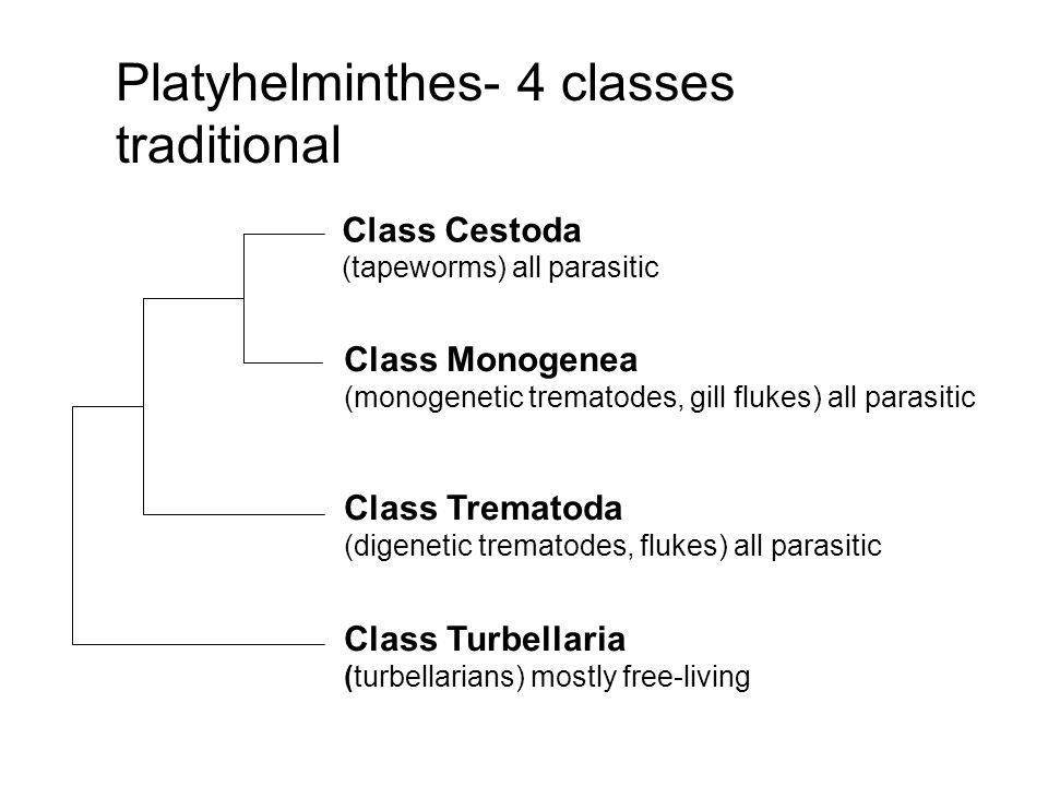 Les class des plathelminthes