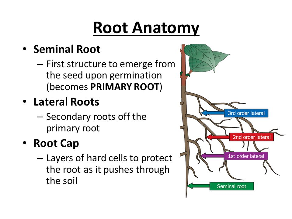 ROOTS. - ppt video online download