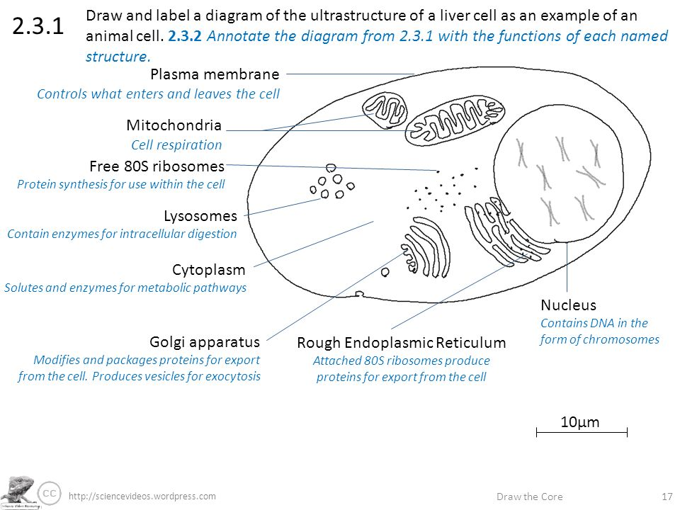 Draw the core label if youre able annotate if youre great ppt draw and label a diagram of the ultrastructure of a liver cell as an example of ccuart Gallery