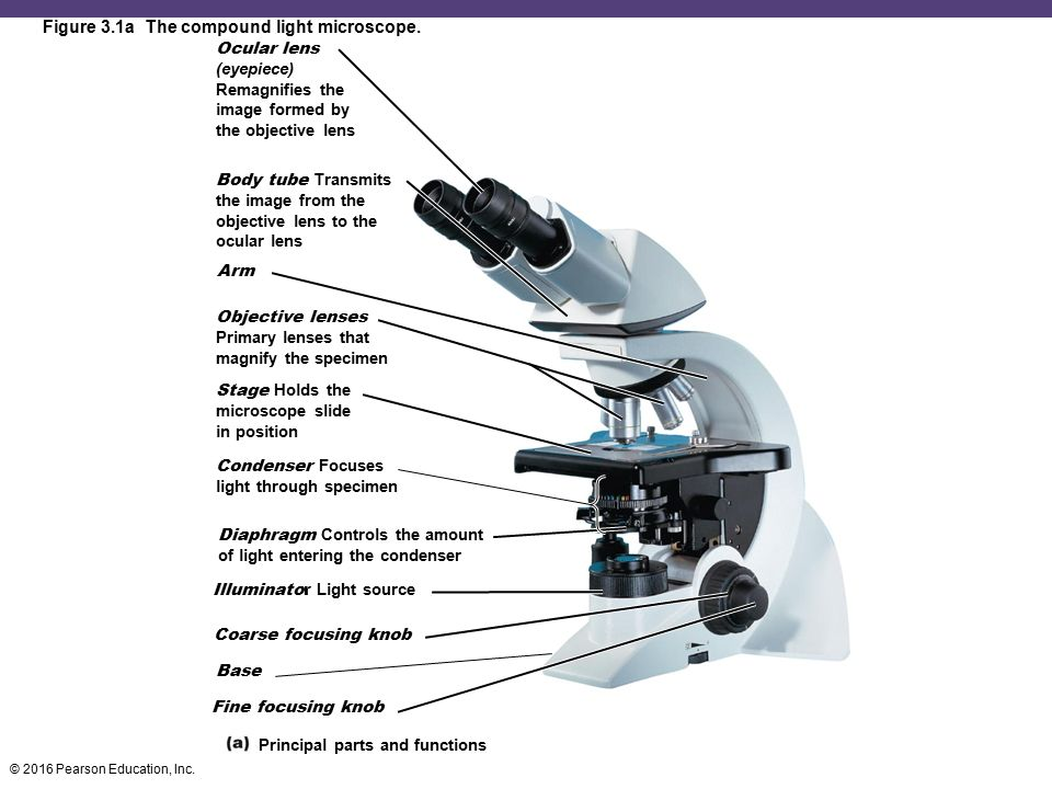 Figure 3.1a The compound light microscope.
