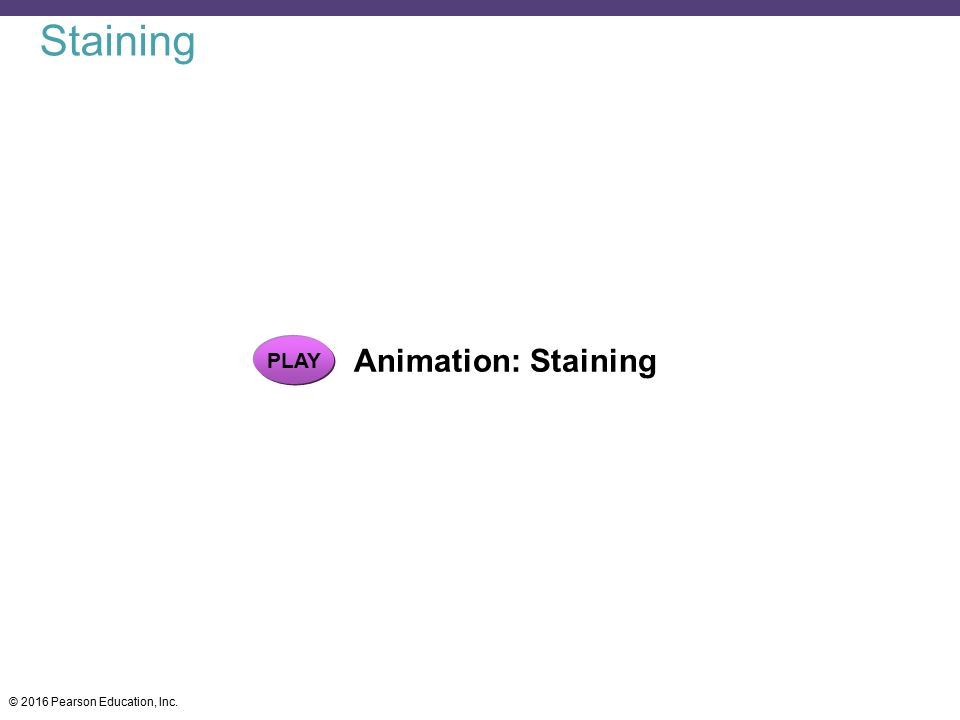 Staining PLAY Animation: Staining