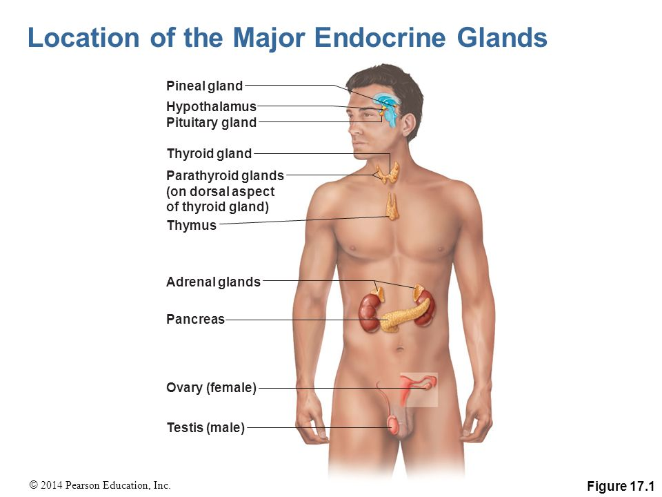 The Endocrine System Pages - ppt video online download