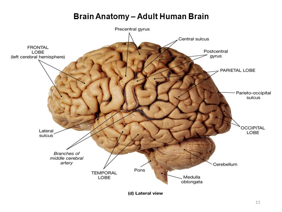 Perfect Human Brain Anatomy Pictures Anatomy And Physiology
