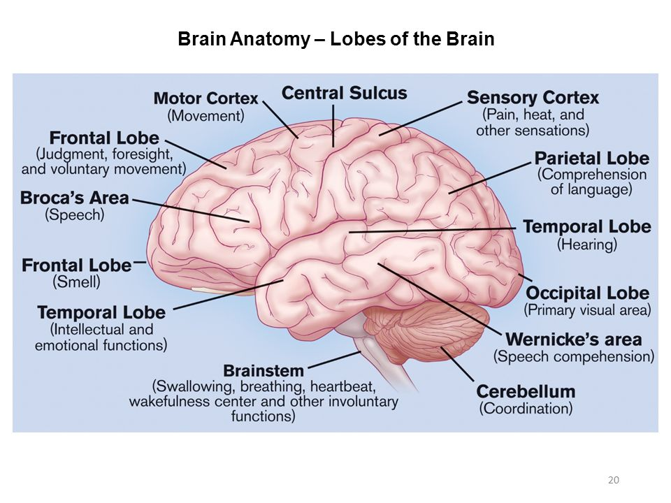 The Brain Anatomy And Function Choice Image - human body anatomy
