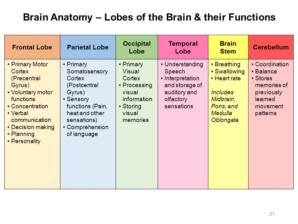 brain anatomy and functions pdf
