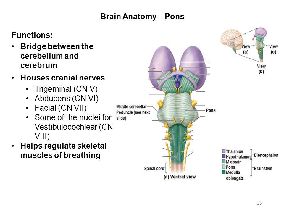 Beautiful Brain Anatomy Pons Image - Anatomy And Physiology Biology ...