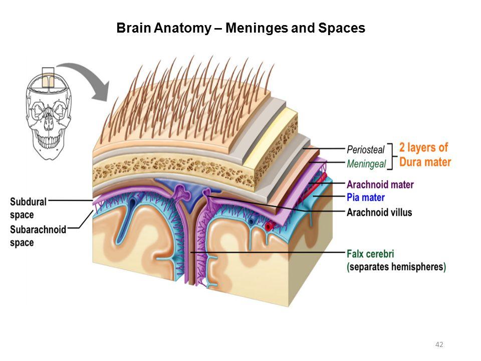 Activity 7: Nervous System Histology, Brain, & Cranial Nerves - ppt ...