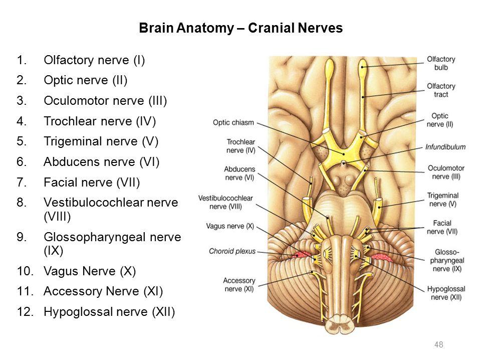Cranial Nerves Anatomy Ppt Choice Image - human body anatomy