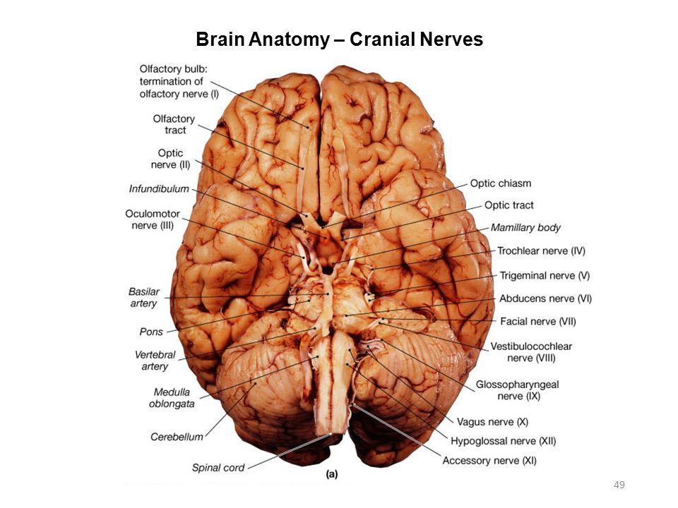 Activity 7: Nervous System Histology, Brain, & Cranial Nerves - ppt ...