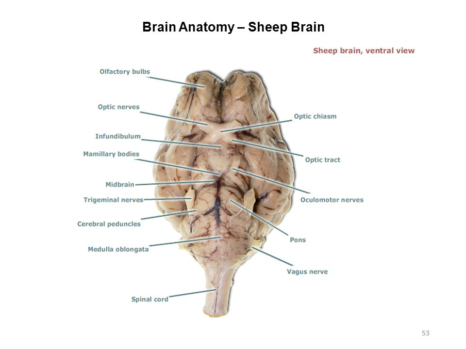 Diagram Of Sheep Brain Nerves Trusted Wiring Diagram