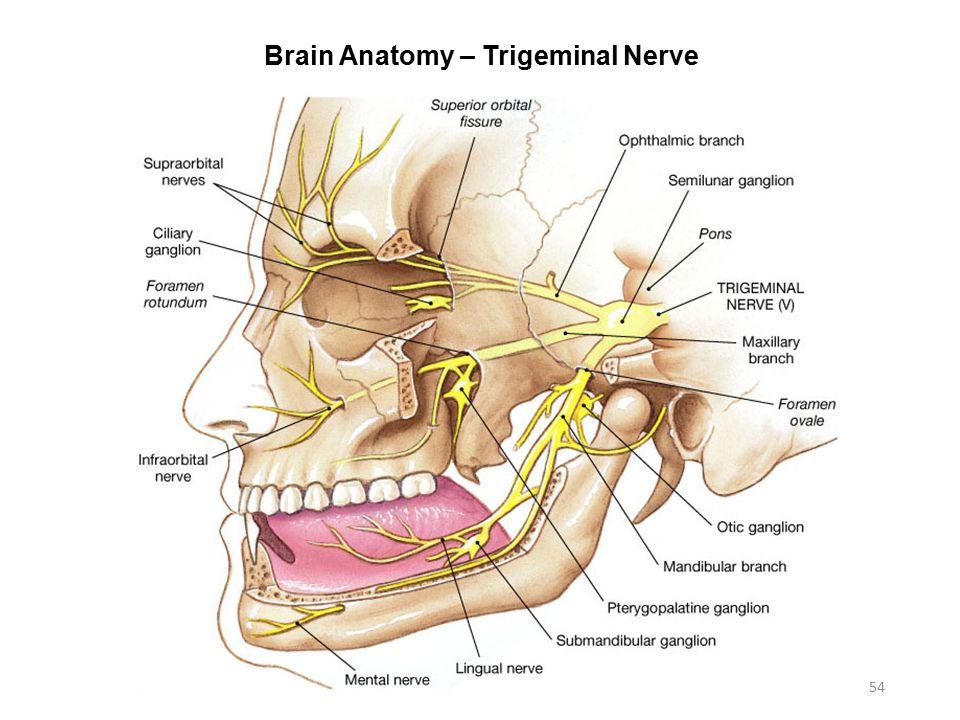 Exelent Anatomy Trigeminal Nerve Motif - Anatomy And Physiology ...