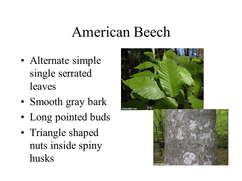 Hickory Several Species Are Common Alternate Compound Leaves Ppt
