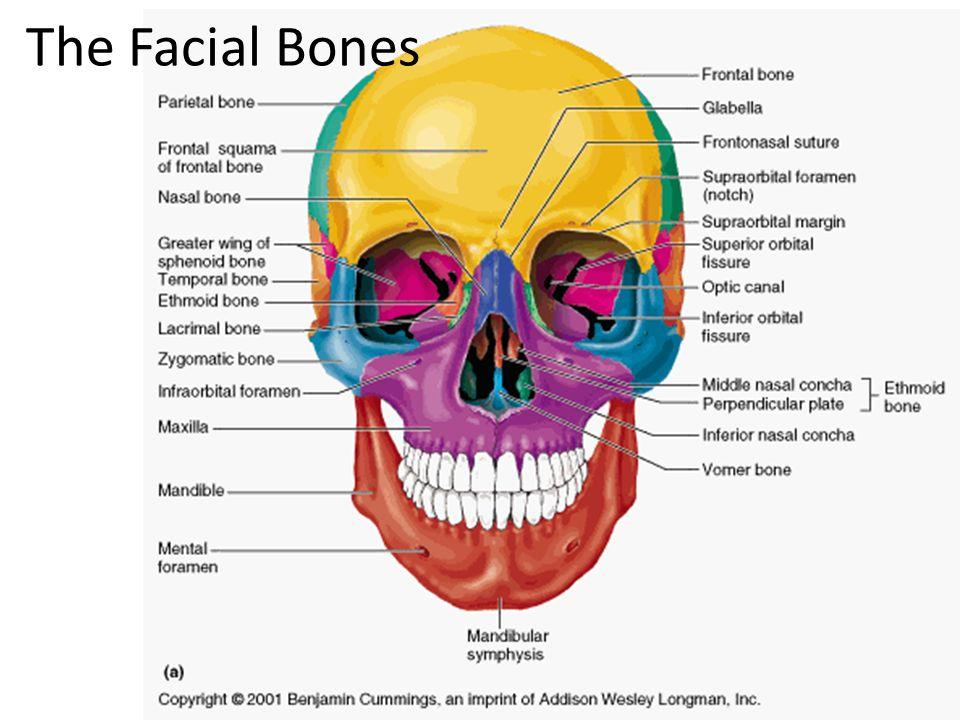 The Skull Facial: Cranial: mandible maxillae (2) frontal bone - ppt ...