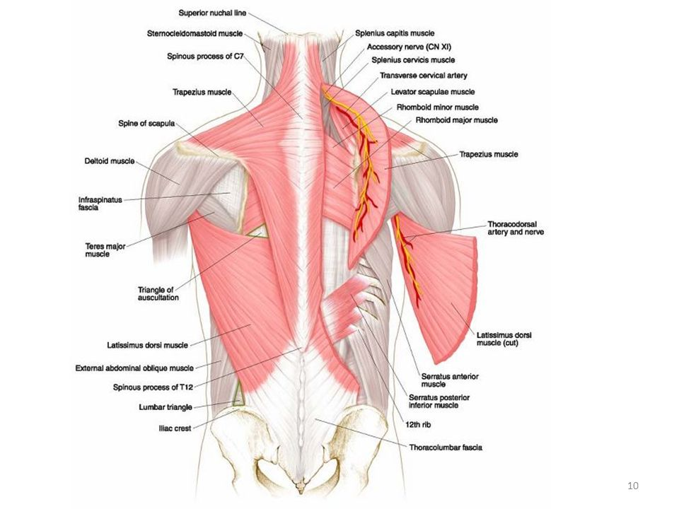 Fine Where Is The Deltoid Muscle Located Festooning - Human Anatomy ...