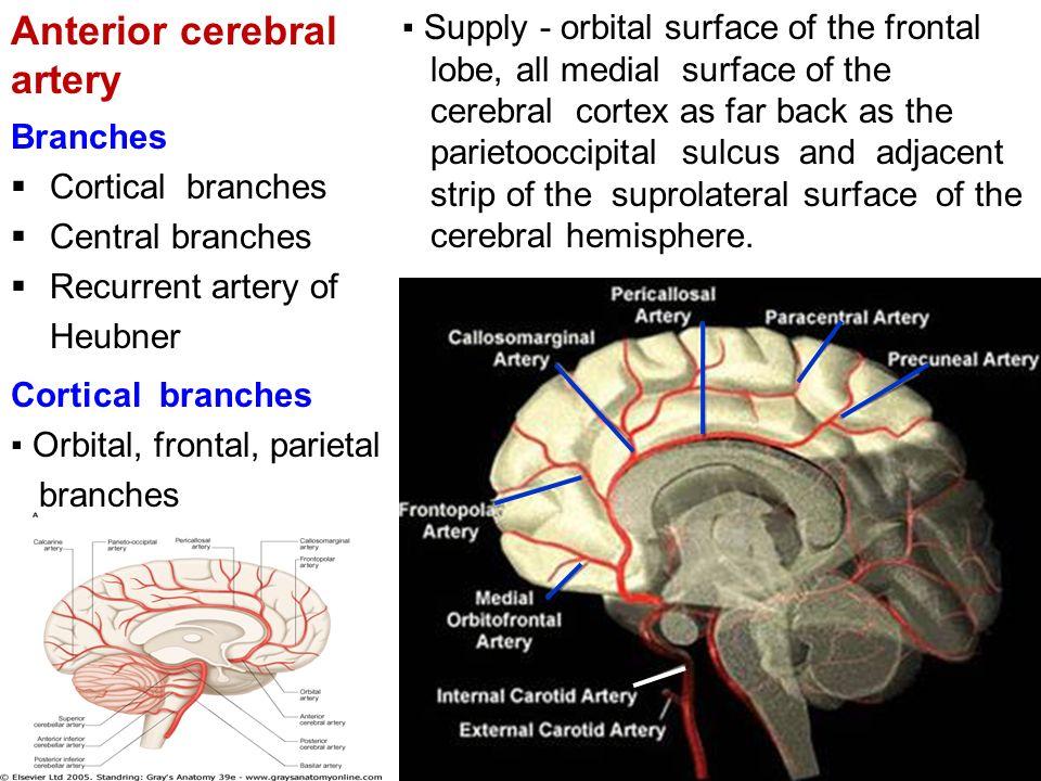 Anterior Cerebral Artery Anatomy Gallery - human body anatomy