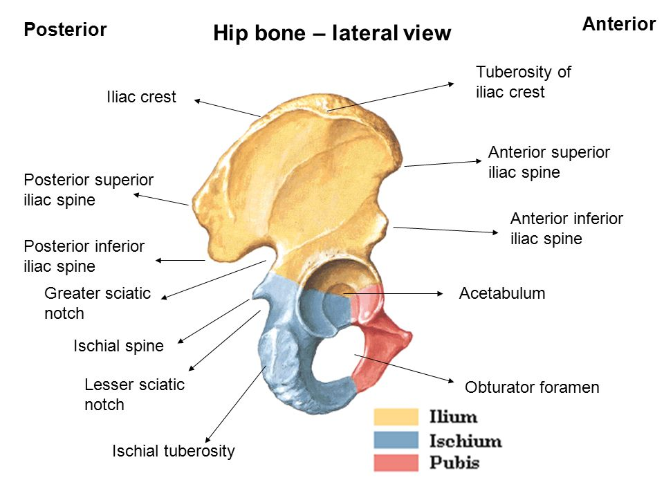 Bones of lower limb Hip bone Femur Tibia Fibula Patella Tarsal bones ...