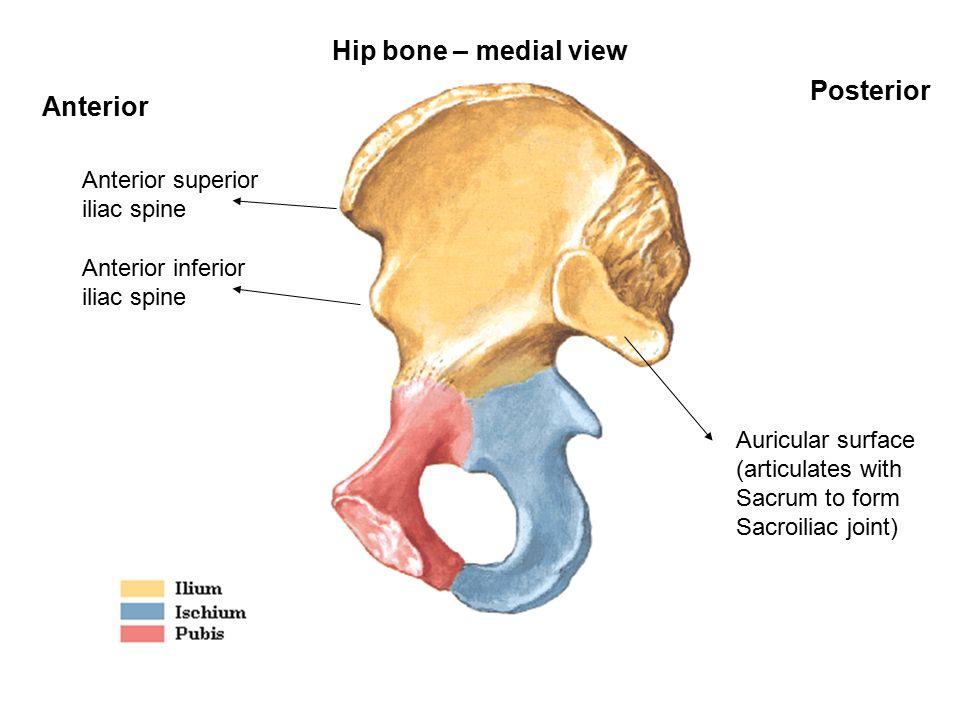 Bones Of Lower Limb Hip Bone Femur Tibia Fibula Patella Tarsal Bones