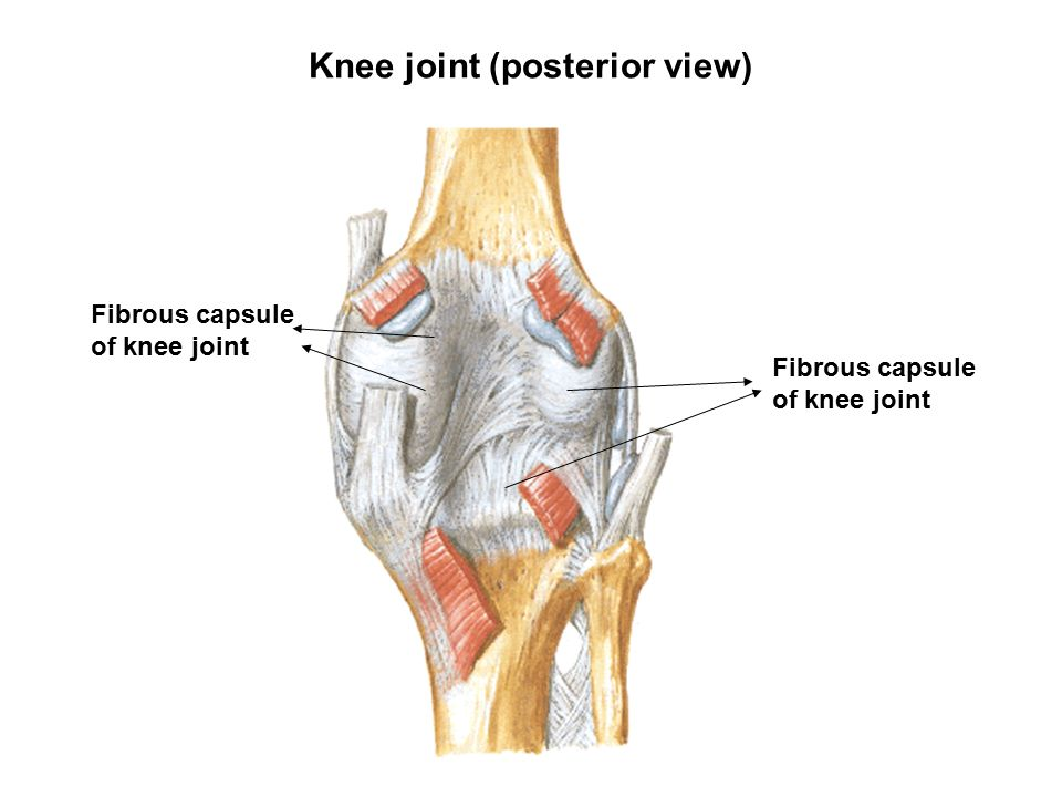 Knee Joint Diagram Fibrous Capsule Capsule All Kind Of Wiring
