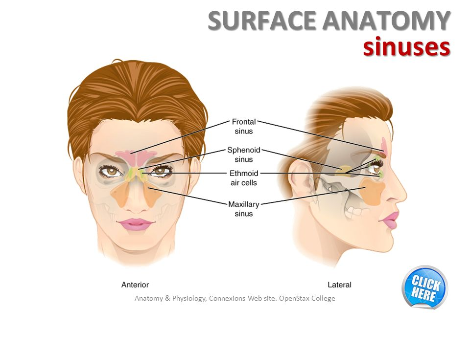 Enchanting Surface Anatomy Of The Head Ensign - Image of internal ...
