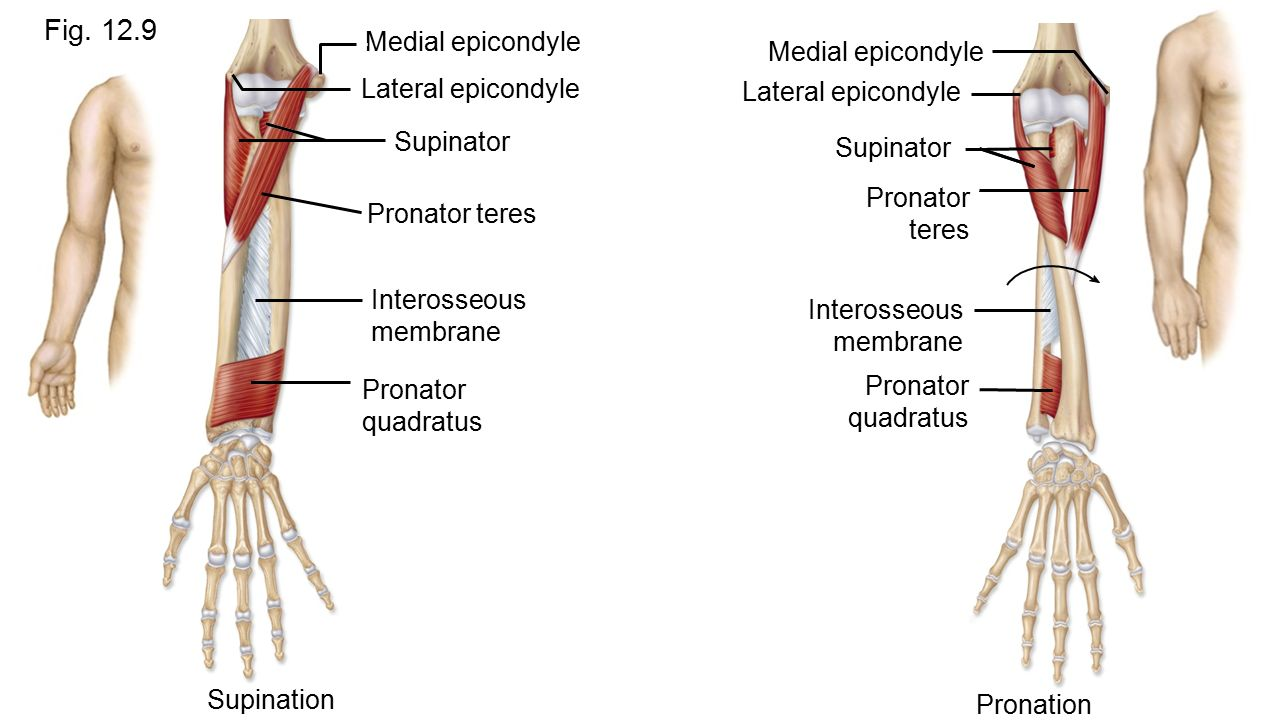 Chapter 12 Appendicular Muscles - ppt video online download
