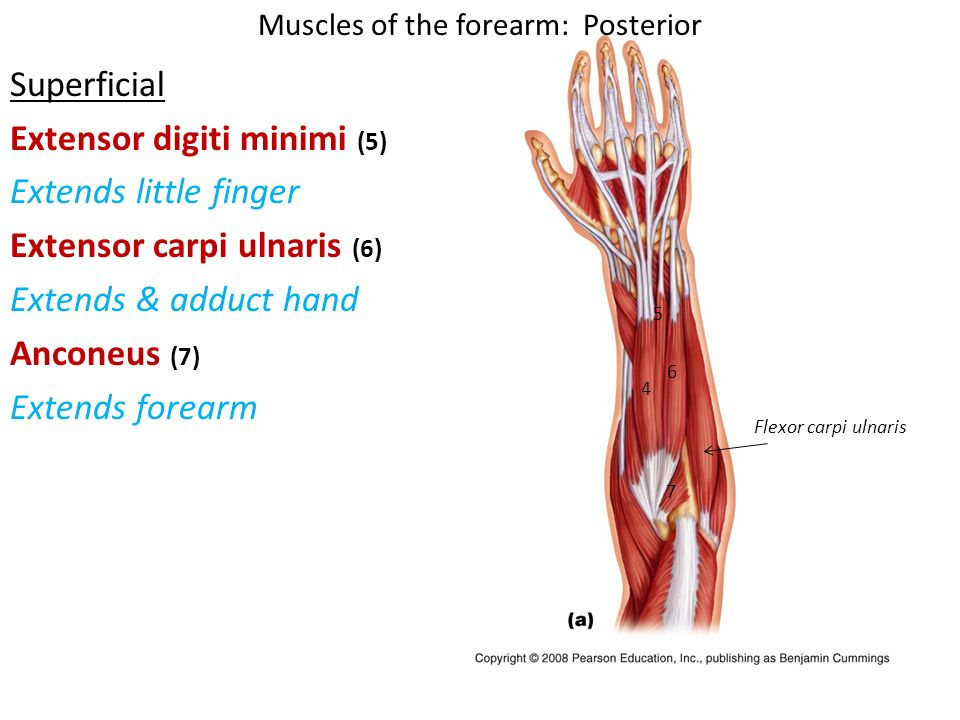 Muscles of the Arm. - ppt video online download
