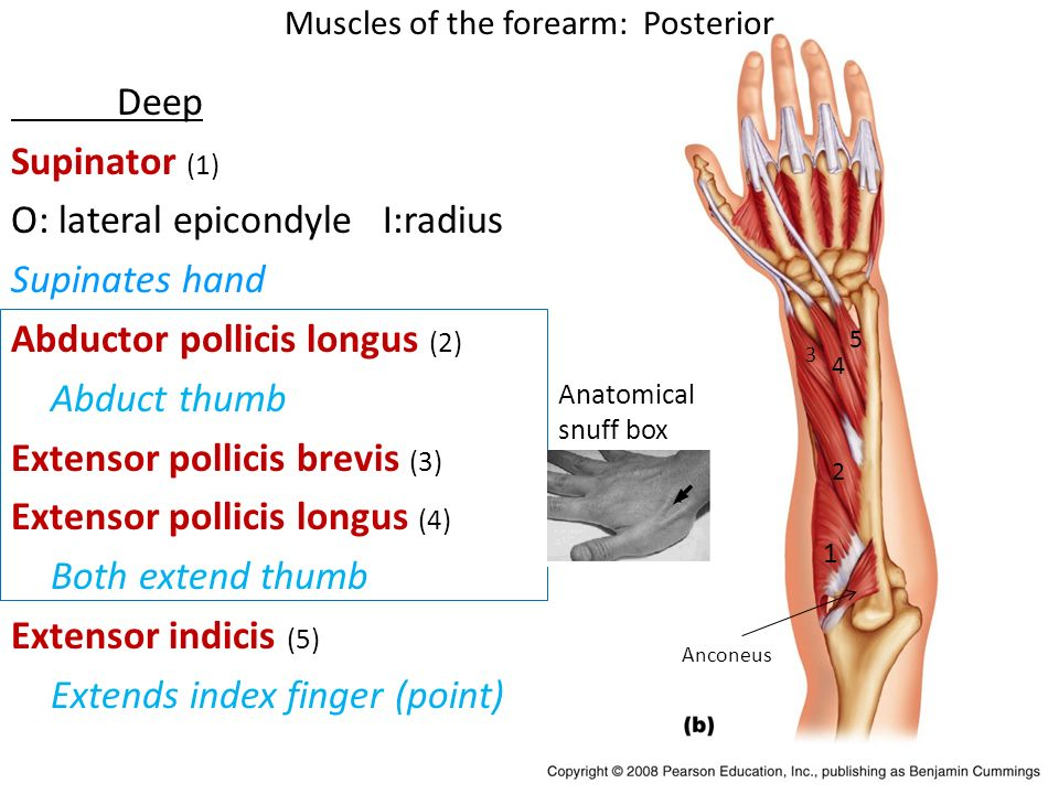 Thumb Muscles Anatomy Images - human body anatomy