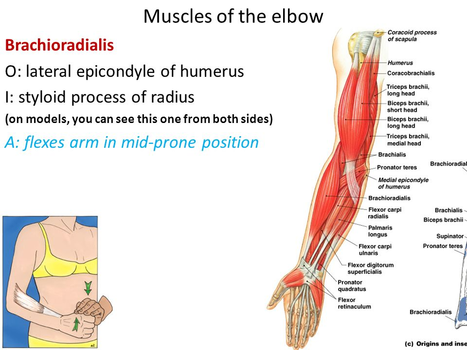 Muscles Of The Arm Ppt Video Online Download